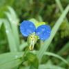 細い葉はイネの仲間? 道端に生える青い花 ツユクサ
