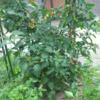 家庭菜園のコスト計算をしてみた。ミニトマトは余裕で元が取れる。