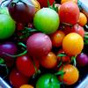 まるでフルーツ!カラフルプチトマト