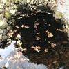 カメトープ2号池の水替え、再び!