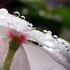 ニチニチソウの水滴^^