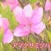アマクサミツバツツジが見頃(熊本県)