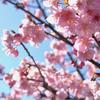 2021年2月20日までに撮影したデジイチとコンデジ写真。カワヅザクラが咲いていました
