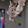 若木山公園と自衛隊の桜