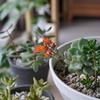 多肉植物 エケベリア属デレノサが花を咲かせました(Echeveria 'Derosa')