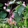「佐久の季節便り」、「シュウカイドウ(秋海棠)」が結実、招魂社わきに移植…。