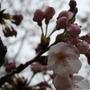佐倉城址公園で桜見物
