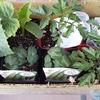 男の家庭菜園 シーズン2