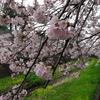 残堀川の桜と小鳥たち