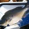 魚の締め方~血抜きをわかりやすく解説!動画もあります