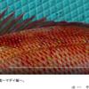 目指せ魚博士! さかなクンのお魚図鑑~マダイ編~ youtube動画まとめ 夜泣きする赤ちゃん・泣き止まない赤ちゃん