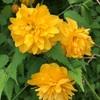 八重咲きのヤマブキ