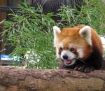 ハロウィンの野毛山動物園に出没!可愛いレッサーパンダのお出迎えにホッコリ♡