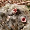 野鳥のヒナは性格さまざま。すぐ口を開ける派と、開けない派。