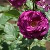駅からハイキングで平塚の薔薇を楽しむ1(八幡山公園)