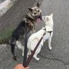 紀州犬2頭引き散歩  男の迷いは優柔不断 女の迷いはミステリアス 紀州犬の故郷