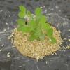 絹莢エンドウの防寒、防鳥対策