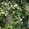 ナニワイバラが満開です:庭の白い花