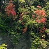 春から初夏の花6 鎌倉源氏山公園・ゴールデンウィークの花たち: 登り口の前の崖を見上げると,見事なヤマツツジ.横に今年はひっそりと咲くフジ.山道を登り始めると,マルバウツギ,シャガ,そしてスミレ.入口の平地には,新芽が赤いもみじ.芝生の間には,タンポポとハルジオン.そして,今の季節,最も目立つのは植栽のツツジ.ウグイスの鳴く源氏山公園.今年は市外からも来て下さいと誘えないのが残念です.