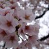 桜は強かった。