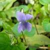 淡い紫色のタチツボスミレ