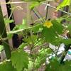 ゴーヤとトマトの観察日記【7週目】ゴーヤのお花