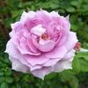 3番花だけれど、今年初めてなんです「ノヴァーリス」