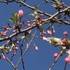 今年度最後の桜