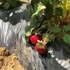 イチゴ初収穫!&ひまわり種蒔き!
