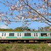 ソメイヨシノを入れた鉄道写真を撮影いたしました