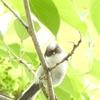 雛ラッシュ、エナガ・カワラヒワ、カルガモ親子28日目、雛への攻撃 5月27日今日撮り野鳥動画まとめ
