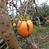 柿むしり 食べようかな Harvest of persimmon