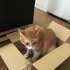 きなことよもぎの猫インザBOX