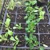 ひとはな農園たより「秋植え野菜と本日の畑の様子」