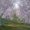桜並木の景観を作る