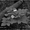 上高地に咲く 可愛い花(モノクローム)