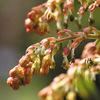 今日の誕生花「ドクウツギ」トリカブト、ドクゼリと並ぶ日本三大有毒植物の花!