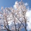 桜×さくらぐみ