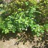 庭植え2ヶ月後のつるバラ、アンジェラとアイスバーグの成長