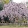 京都の桜2019-1