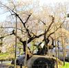 盛岡の桜が見頃!石割桜・盛岡城跡公園(岩手公園)・中津川沿い・盛岡八幡宮を散歩