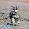 犬アドベントカレンダー16日目 シュナウザー