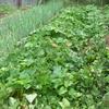 久方ぶりの本格的な家庭菜園