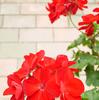 ゼラニウム アメリカーナのチェリーローズと、カリオペのダークレッドは今日も咲く♪