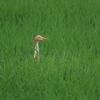加須市・羽生市の野鳥 アマサギ・セッカ他 2021年8月12日