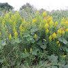 セイタカアワダチソウ - 自滅しちゃう外来植物 | 植物紹介