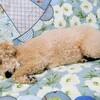 犬 糖尿病 インスリン71日目 診察日