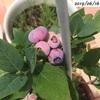 #20 ブルーベリー 実が熟してきましたー少しだけ収穫
