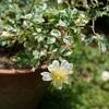 斑入りノイバラ開花