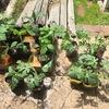 苗を買いに行ったら、初対面の人に野菜栽培の薀蓄を語るオジサマがいた。話しかけられたが華麗にスルー
